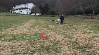 Arya's First Herding Lesson | 11/15/2020