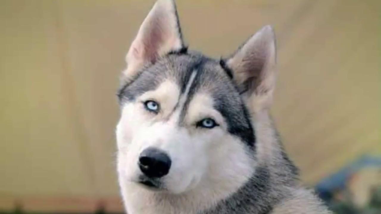 كلاب هاسكي جميلة - YouTube