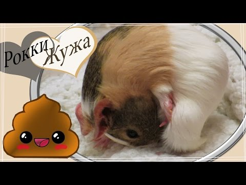 Морские свинки едят свои какашки. Почему?