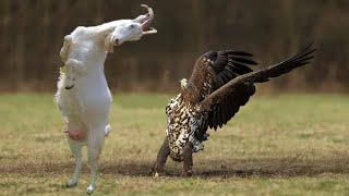 Самые необычные и удивительные противостояния животных снятые на камеру #3
