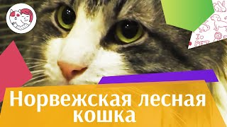 видео Норвежская лесная кошка