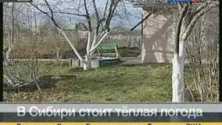 В Омске распустились чайные розы(, 2010-11-17T15:28:20.000Z)