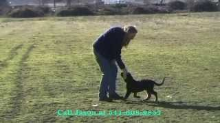 13 Week Old Puppy Showing First Steps Of Engagement Dog Training From Prodogz