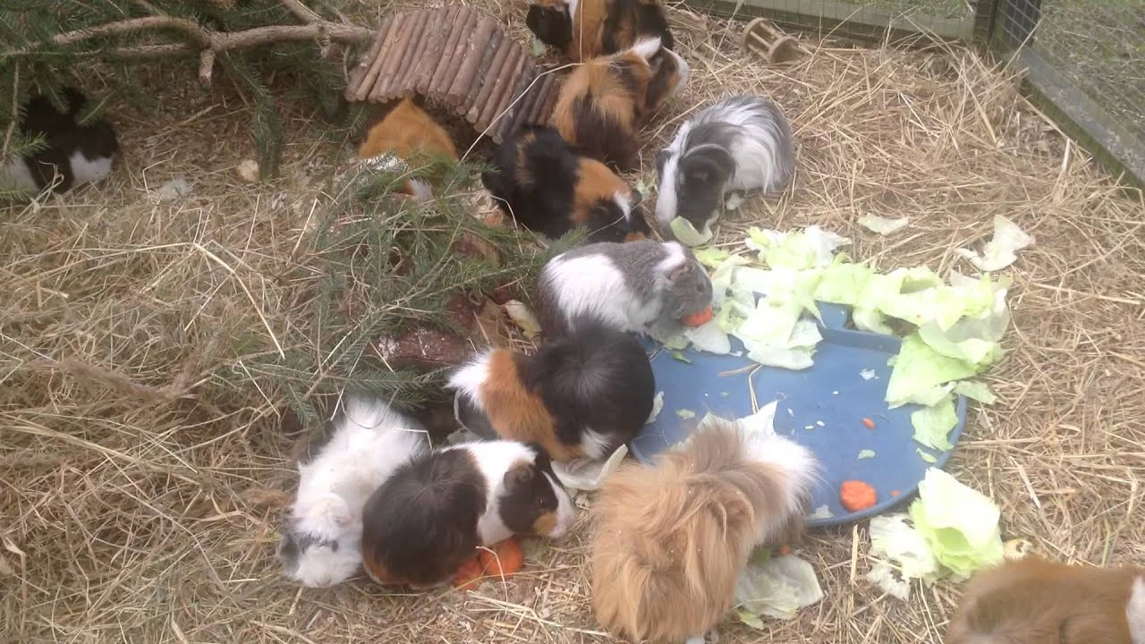 meerschweinchen guinea pig gro es freigehege ein traum f r meerschweinchen youtube. Black Bedroom Furniture Sets. Home Design Ideas