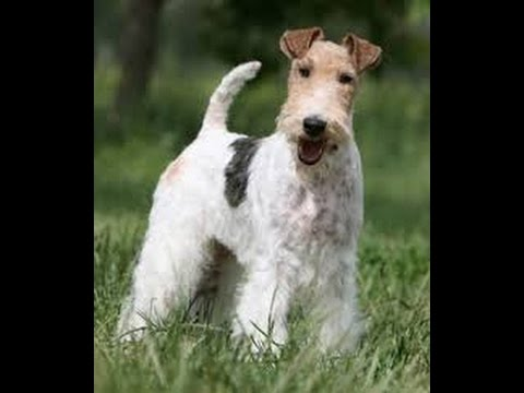 Terrier Dogs part 1