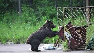 Более 20 тысяч медведей насчитывают в Якутии