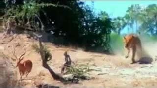 охота хищников видео