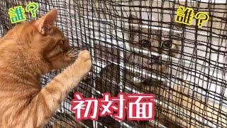 茶トラ猫【きんた】オス 2017年8月17日生 名前の由来 猫カフェで「きん...