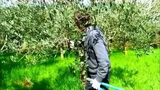 Alberi da frutta 2_La teoria della  potatura dell'olivo