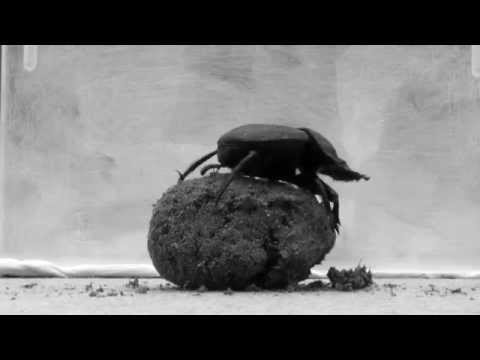 Dung Beetle Rolling a Big Ball of Poop - The Scarab Beetle Dance