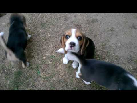 Szczeniaki beagle miot HIJ