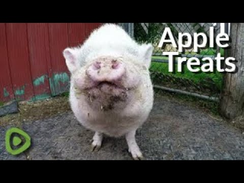 Hilton The Rescued Pig Adores His Apple Slice Treats
