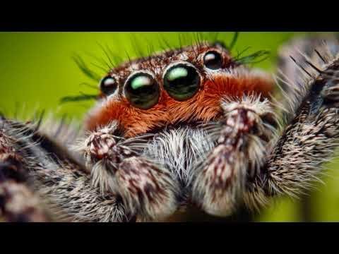 Macro Video of an Adult Male Platycryptus undatus Jumping Spider