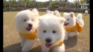 The Six Troublemaker Samoyed Puppies Get A Visit From Their Father (Part 2) | Kritter Klub