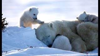 Au pays de l'ours blanc - Documentaire animalier