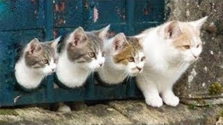 Try Not To Laugh Challenge - Funny and Cute CAT Videos Compilation #2