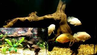 черный фон в аквариуме выглядит круче чем обычный