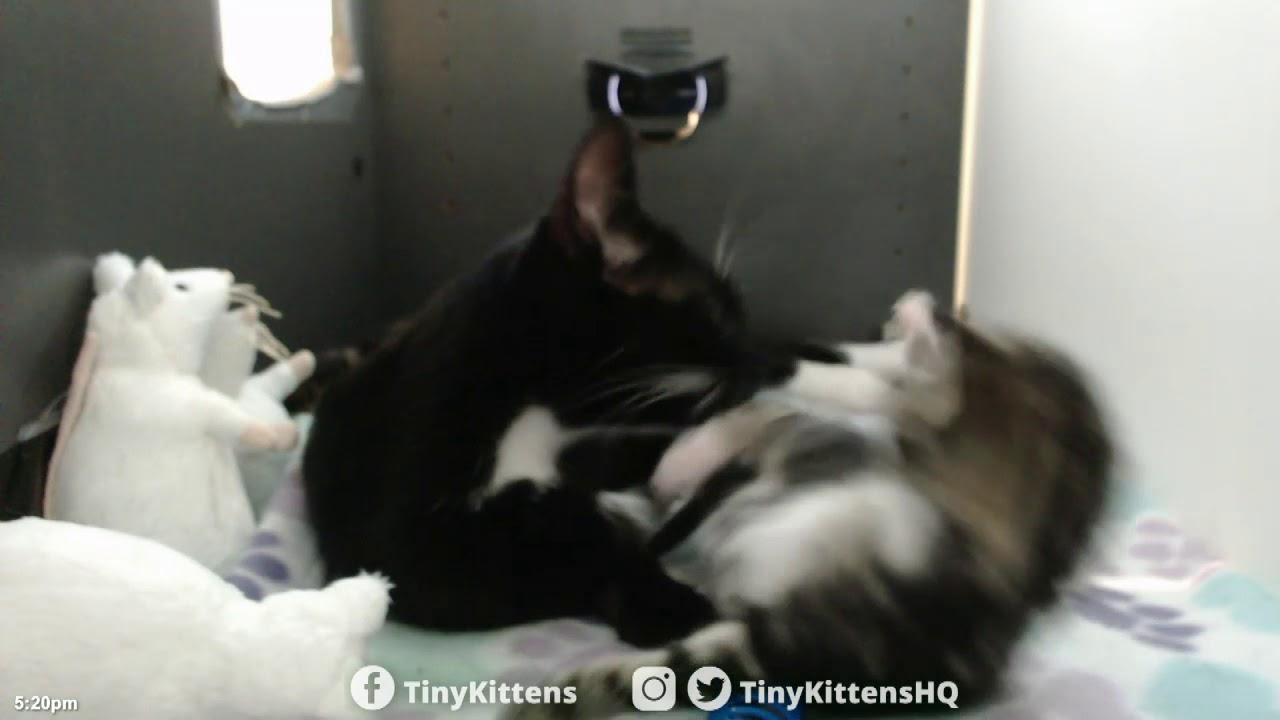 Bentley kitten gets adorable bath from mama!  TinyKittens.com