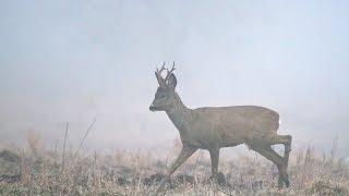 #15 Зимняя Ходовая Охота. Тропление Зверя с Курцхааром. Охота в Тумане на Косулю с Подхода Зимой