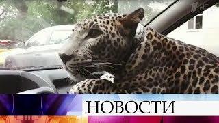 В Интернете активно обсуждают ролик, в котором леопард катается на переднем сидении такси по улицам.