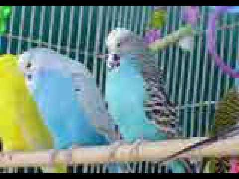 English Budgies & Parakeets | Parrot Parrot