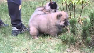 чау-чау щенки
