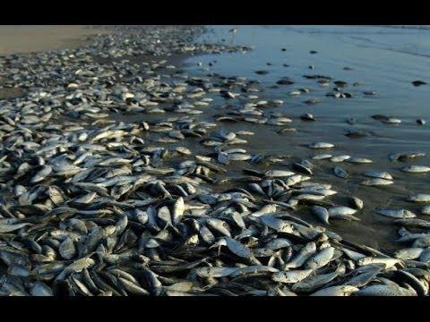 THOUSANDS OF FISH FOUND DEAD IN GRAND ISLAND LAKE, NEBRASKA (JAN 18, 2013)