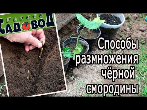 Вопрос: Какая жизненная форма характерна для черной смородины?