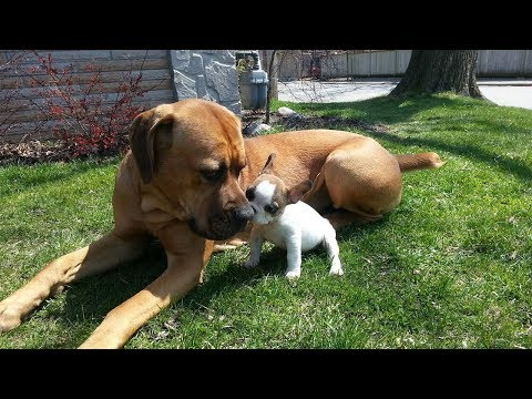 Cute Puppies Playing with Big Dogs Compilation – Funny Dog Videos