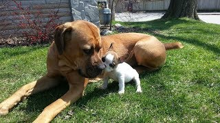 Cute Puppies Playing with Big Dogs Compilation  Funny Dog Videos