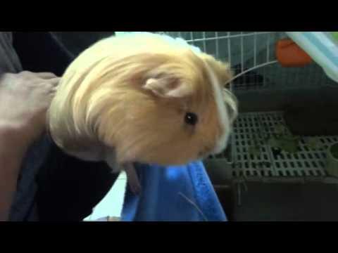 如何抱天竺鼠 - YouTube