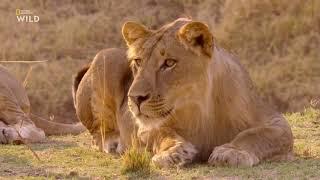 Nat Geo Wild Африканские охотники 2 сезон 3 серия - Короли Нсефу
