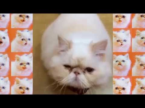 Lord Aries Cat | Vine Compilation