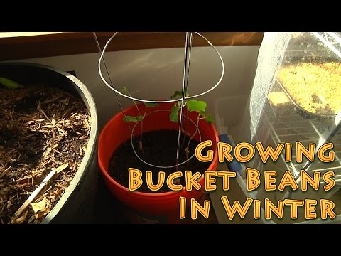 Growing Bucket Beans in Winter