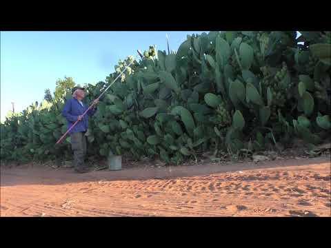 Sabra (prickly Pear) \u0026 Sabra (native-born Israeli)