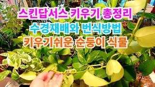 공기정화식물스킨답서스 형광스킨답서스 키우는 법 수경재배…