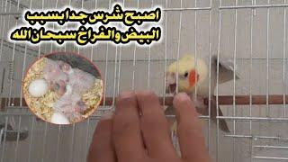 شوف كيف تصبح الطيور شرسة ووحشية || بعد وضع البيض او خروج الفراخ