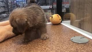 犬種 : ノーフォークテリア 毛色 :レッド 性別 :男の子 生年月日 : ...