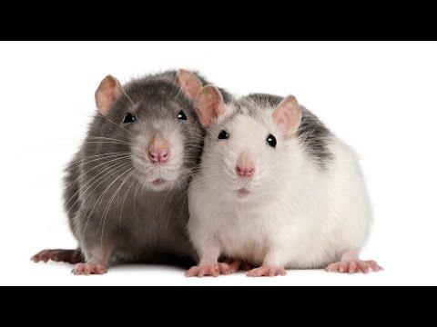 How To Understand Rat Sounds   Pet Rats