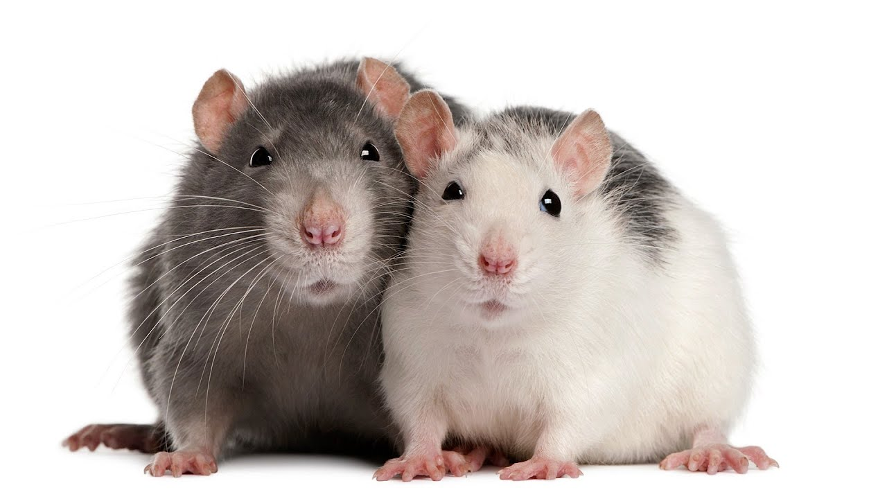 how to understand rat sounds pet rats youtube