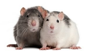 How to Understand Rat Sounds | Pet Rats