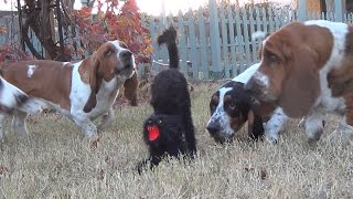 Basset Hounds VS The Scary Halloween Cat Very Funny!