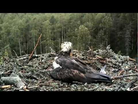 Seguimiento del nido de unas Águilas Pescadoras en Estonia