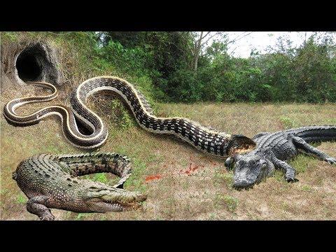 Crocodile vs Big Python Snake Real Fight | Snake attack Crocodile Lion cheetah - Wild Animal Attacks