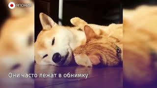 Собака породы сиба-ину и рыжий кот никогда не расстаются