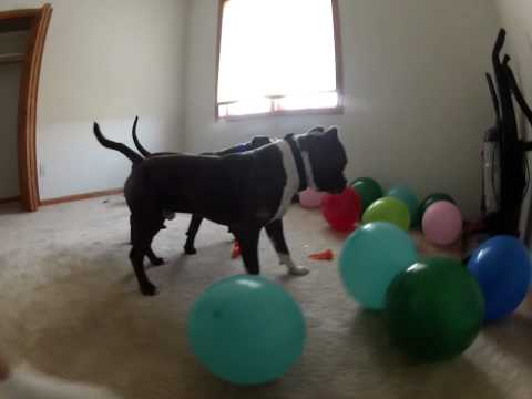 Bluenose Pitbull Puppies playing with balloons