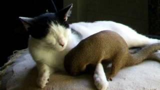 Mongoose Romancing Cat.AVI
