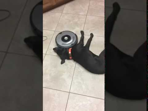 Lazy dog and Roomba