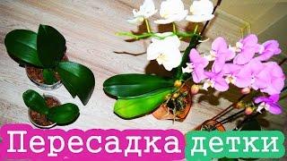 Пересадка детки орхидеи / Как пересадить орхидею(Будем учится пересаживать деток орхидеи в отдельные горшочки с субстратом для них. Нет ничего сложного!..., 2015-03-11T19:34:04.000Z)