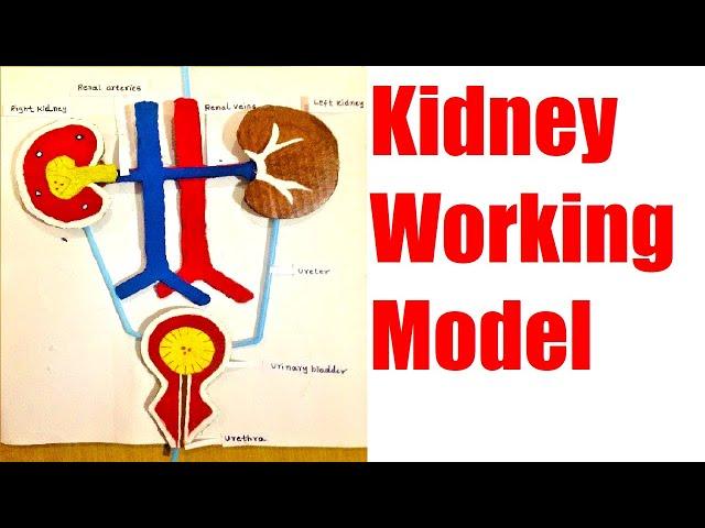 kidney working model | science exhibition | school project